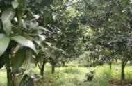 Chính Chủ Cần Bán Gấp Trang Trại Cam  Tại Lương Sơn -  Hòa Bình